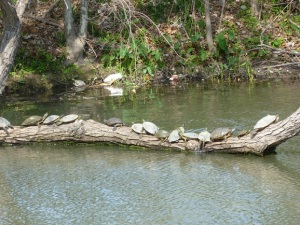 Turtles in the sun at Lady Bird Lake